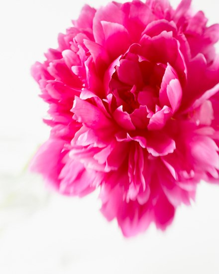 Gallery For > Peony Art Prints