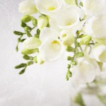 freesia 051 150x150 Photography