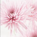 chrysanthemums 049 8x10 150x150 Photography