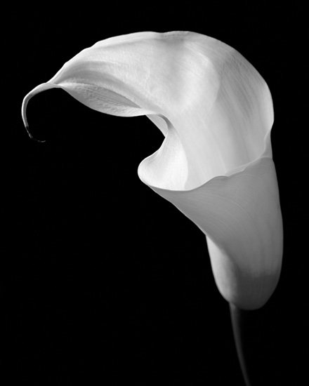 calla 106 black and white flora images