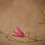 magnolia 025 150x150 Photography