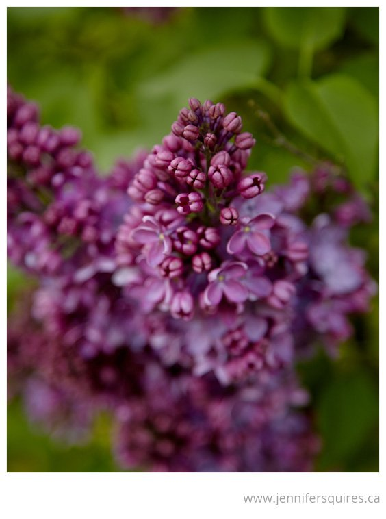 Flower Photography Lurid Lilac Springs Sensation