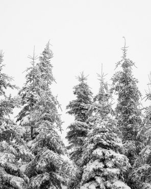 Snowy Trees Art - In the Treetops