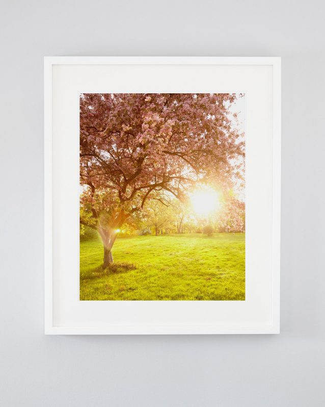 Nature Photography - May's Glow - Pink Cherry Blossom Tree Art