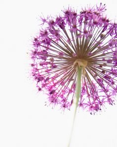 Botanical Prints - Purple Flower
